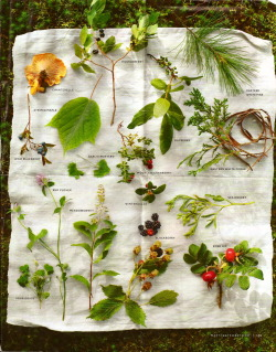 littlefeatherheart:  good4youtea:  beautiful wild edibles spread from a magazine