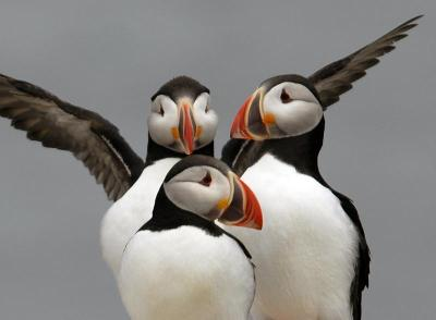 boston:  EDITORIAL Puffins: It's better in Bermuda - The National Audubon Society's Project Puffin, which has been restoring puffins to Maine islands since the 1970s, put geolocators on eight birds. One of those bird's journey was nothing short of amazing.