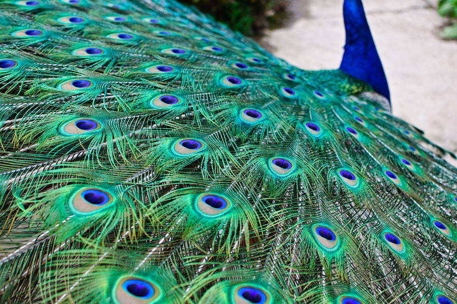 fairy-wren:  indian peafowl (photo by colin henderson)