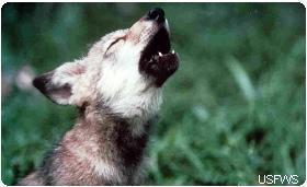 Save Wolves from Dirty Oil Tar sands operations in Canada are pushing woodland caribou to the brink  of extinction as their habitat is destroyed. Incredibly, Canada's proposed solution is to kill the wolves that prey on caribou, instead of protecting their habitat. Take Action! via NWF Action Fund Action Center