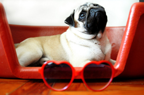 ilovepugs:  valentine's day is tomorrow!! pugs make great dates!!