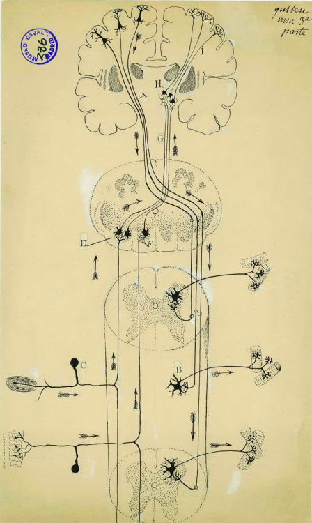 Pictured above is one of the many works of Santiago Ramon y Cajal, an artist whose relentless focus on the nervous system both displayed unmatchable views inside of our brains and led to remarkable findings within this previously misunderstood anatomical region. In the above illustration, Cajal depicted a diagram of the spinal cord with both individual cells and entire nerve tracts. According to his sketch, motor commands travel down the spine from the left side of the brain, while sensory feedback travels up the spine to the right side of the brain. See more of his works and read an in-depth biography at Discover Magazine.