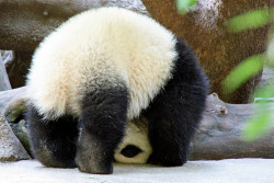 fuckyeahgiantpanda:  Yun Zi at the San Diego Zoo. © Penny Hyde.  Yun Zi so silly!
