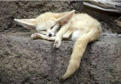 Sleepy fox :3