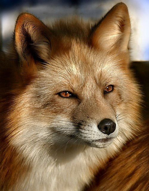 funnywildlife:  Gorgeous Red Fox!!