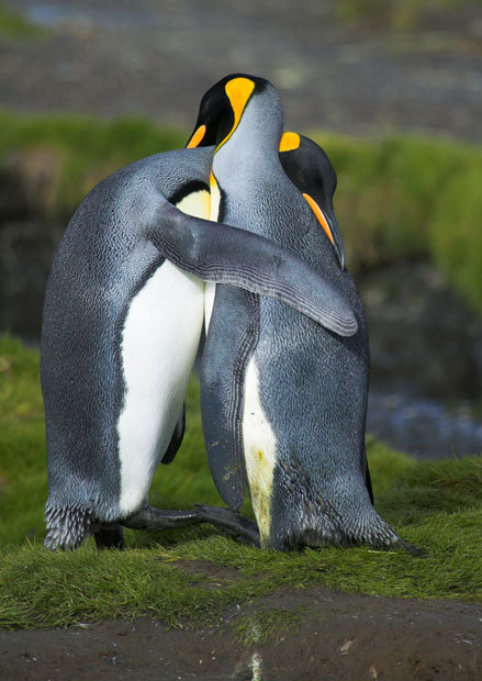 allcreatures:  King penguins hugging in courtship in South Georgia Picture: Nature Picture Library / Rex Features
