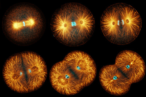 "techcannon:  A mitosis mystery solved: How chromosomes align perfectly in a dividing cell ""Like Agatha Christie's Hercule Poirot and Arthur Conan Doyle's Sherlock Holmes, Tomomi Kiyomitsu used his keen powers of observation to solve a puzzle that had mystified researchers for years: in a cell undergoing mitotic cell division,"" ….. ""People have been looking at these proteins and players in mitosis for decades, and no one ever saw what Tomomi observed,"" says Whitehead Institute Member Iain Cheesema"" ….. ""As Kiyomitsu watched mitosis unfold in symmetrically dividing human cells, he noticed that when the spindle oscillates toward the cell's center, a partial halo of the protein dynein lines the cell cortex on the side farther away from the spindle. As the spindle swings to the left, dynein appears on the right, but when the spindle swing to the right, dynein vanishes and reappears on the left side."""