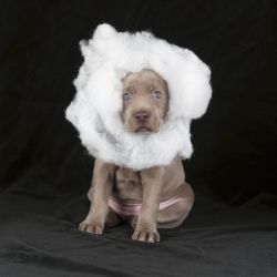 William Wegman Cloud, 2004 (Modeled by Penny, born January 27, 2004)