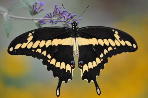 insectlove:  entomolog: Giant Swallowtail (Papilio cresphontes) (by Pelatiah on Flickr)