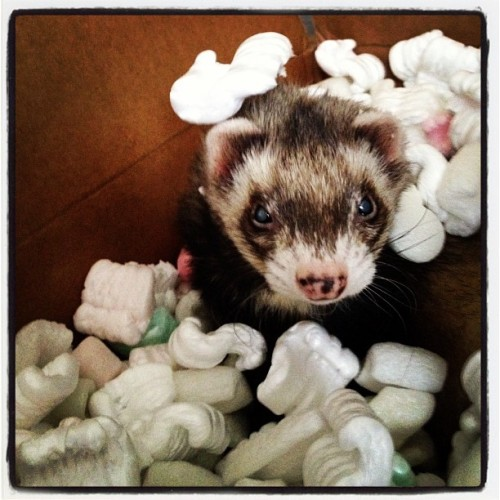 He's getting shipped out today! #ferrets  (Taken with instagram)