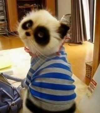 OMG. Panda cat. So adorable!