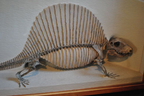 Dimetrodon milleri  Sometimes people confuse Dimetrodons for dinosaurs, when actually Dimetrodons are in the class of Synapsida; a class more related to mammals than reptiles. Dimetrodons ranged from the Lower to Middle Permian; which also means they did not live alongside dinosaurs (another misconception).