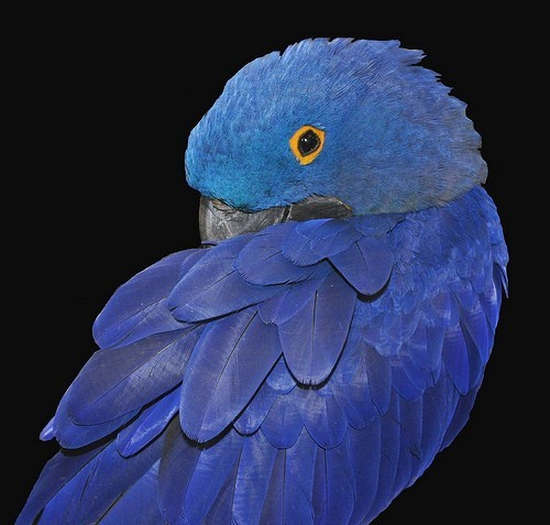 fairy-wren:  hyacinth macaw (photo via koolpix)