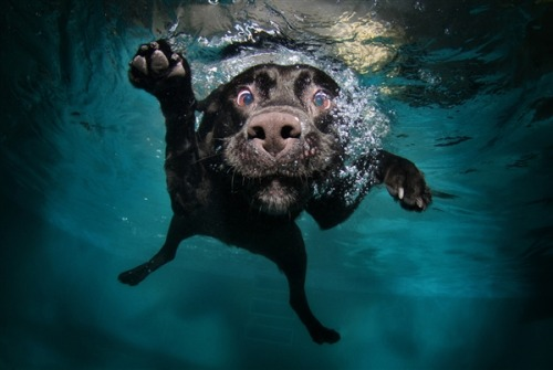 inothernews:  MSNBC.com's best photo gallery yet: Dogs Gone Underwater.  Hi MUFFIN!