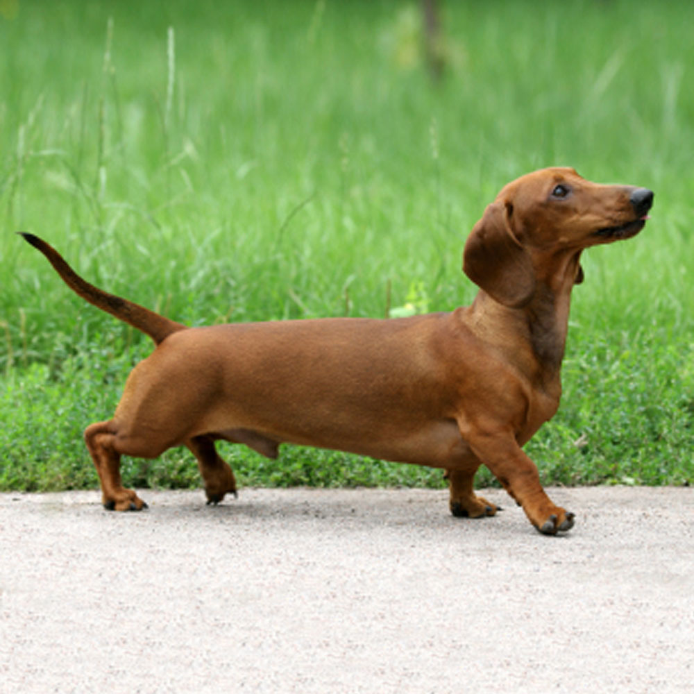 It's time to give dachshunds the respect they deserve. [Image]