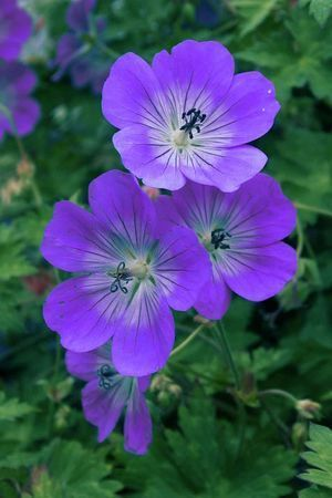 cranesbillgeranium:  a little background behind my url: cranesbill geranium.  I worked in a greenhouse over the summer and cranesbill geraniums were so rare in the respect that they were shade tolerant (able to survive darker days, resilient, strong) and perennial (they come back, return, continue to bloom every spring).  Not that being shade tolerant and perennial is all that rare (lots of ferns are like this!) but they still have this beautiful, vibrant bloom. A delicate, iridescent fan of petals. Everyday I would water the cranesbill geraniums, deadhead them, talk to them, care for them. I admire them, strive to be like them. Strong and powerful yet still beautiful and gentle.