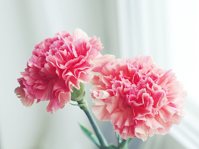 Pink carnations by ♥ Moa Maria on Flickr.mornings are the best .. ❤ ☀