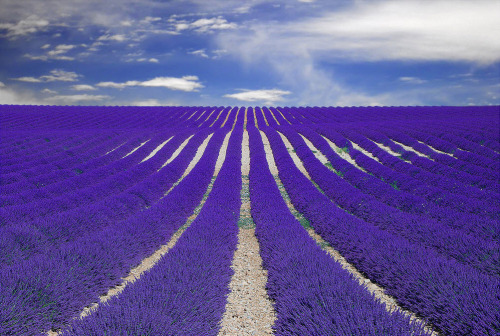 vinylstatic:  lavender field in Province, France.
