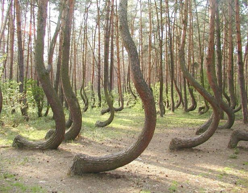 patrickdicesare:  These trees grow in the forest near Gryfino, Poland. The cause of the curvature is unknown
