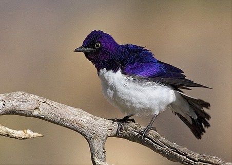 fairy-wren:  violet-backed starling (photo  by robert winovan)