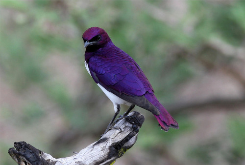 fairy-wren:  violet-backed starling (photo by nick dean)