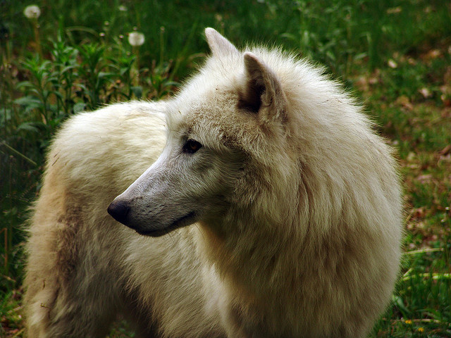 Polarwolf on Flickr.Cry Wolf!