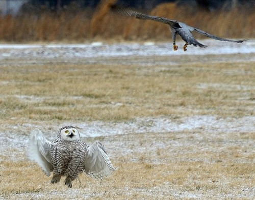 fairy-wren:  peregrine falcon vs. snowy owl (photo via nabirding.com)  ohgodohgod