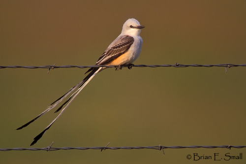 fairy-wren:  scissor-tailed flycatcher (photo by brian small)