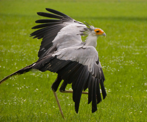 fairy-wren:  secretary bird  (photo by halex)