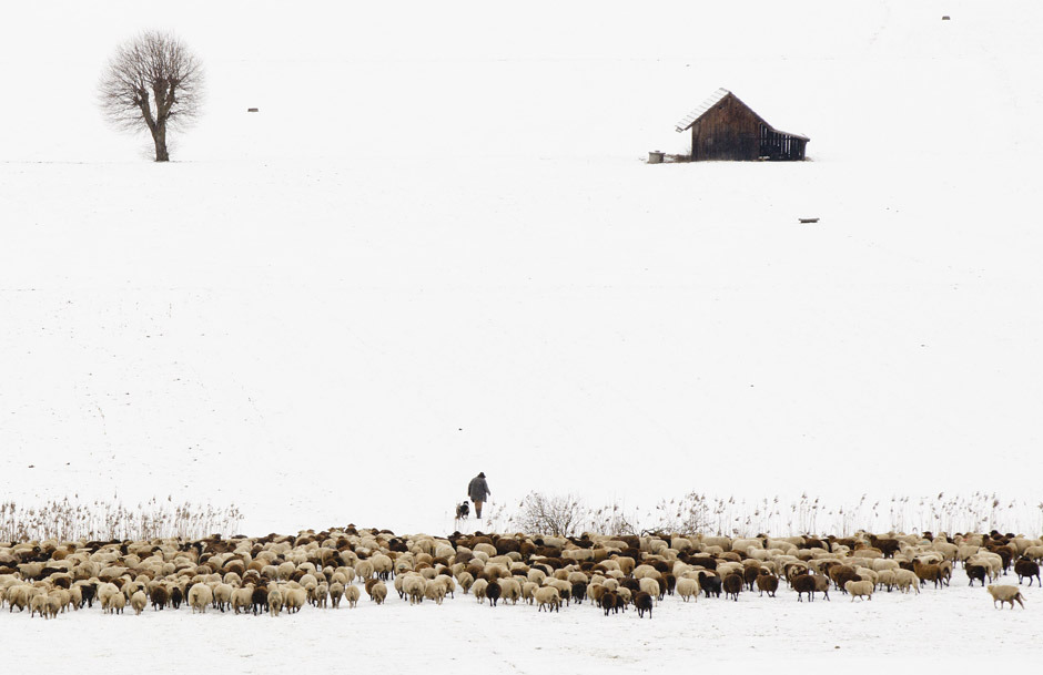 Swiss shepherd Markus Nyffeler walks with his flock of sheep through a snow covered field in Muehlethurnen near Bern February 15, 2012. Nyffeler, who has been a professional herdsman for the past 20 years and owns 450 sheep of differing breeds, moves during the winter months around the region, seeking to feed his animals. [Credit : Michael Buholzer/Reuters]