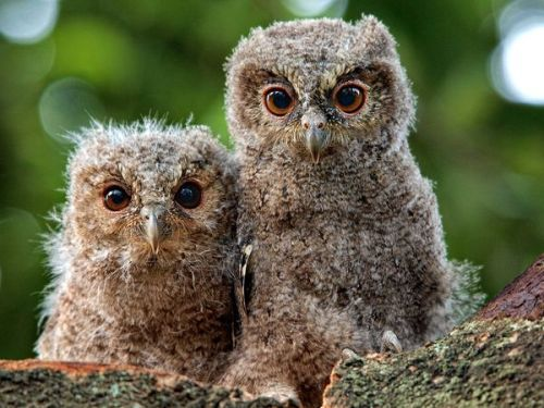 Owls. These two owlets are known as Sunda scops (Otus lempiji). They had just hatched from their eggs a few weeks before this photo was taken. [animal pairs]