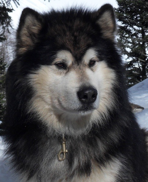 Someone get me a malamute?