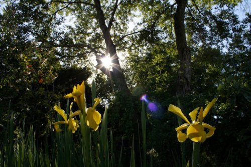 the sun winking at irises *