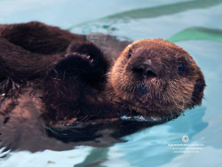 montereybayaquarium:  Nothing like an otter pup to brighten your working day. Check out our latest computer wallpaper!