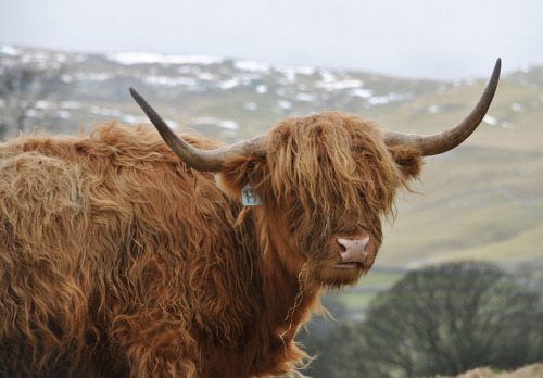 funkysafari:  Highland Cattle by Bev Geddes