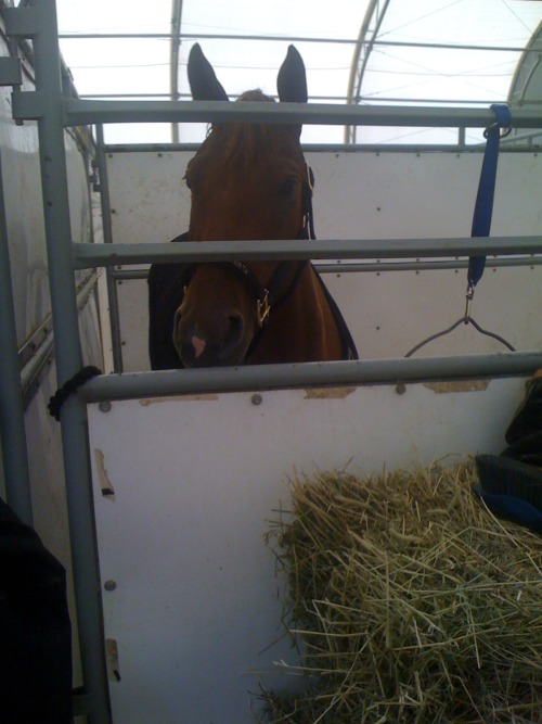 Chilling in her stall at the show grounds