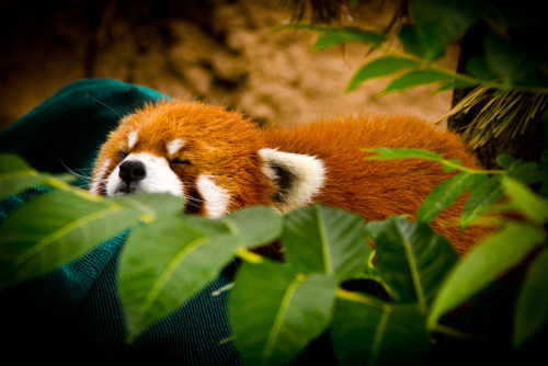 worldlyanimals:  red panda by ~thedirtyknapkin