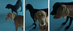 William Wegman Blue Monday, Wednesday, Friday, 2008