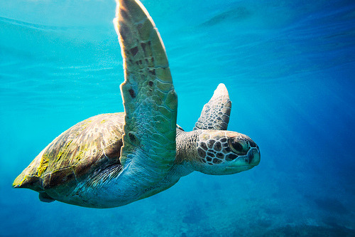 cey-lon:  Green Sea Turtle - Similan Islands, Thailand (by James R.D. Scott)