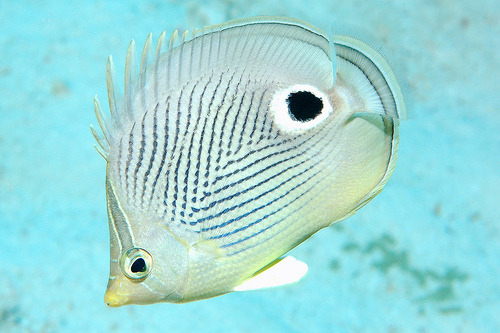 Foureye Butterflyfish | Chaetodon capistratus  (by makebubblz (in memory))