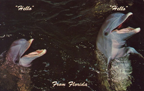 "bad-postcards:  ""HELLO"" ""HELLO"" …FROM FLORIDA! A couple of friendly porpoises await your visit in FLORIDA.  Dolphins are and always will be… assholes. Over the 4th of July when I would go fishing a dolphin would always swim up, scare everything away, and look at us as if to say ""ha ha fucker. fish now bitches"""