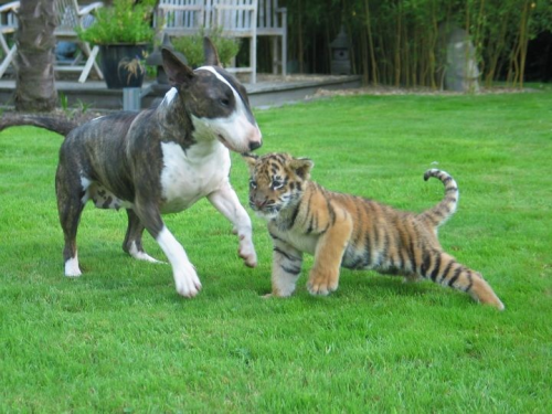 Bull terrier and tiger