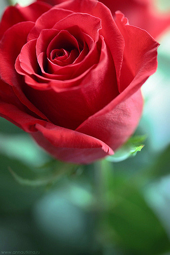 Just a Rose… (by Anna Utkina Photography)