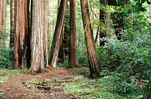 copulates:  Redwoods in Humboldt State Park (by dadoll)