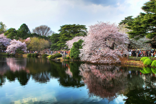 ceciliabalam:  Sakura Reflections by arcreyes [-ratamahatta-] on Flickr.