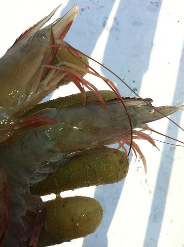 "nrdc:  These shrimp without eyes were caught off the Gulf Coast in late 2011.  BP Hauls in $7.7 Billion in Profits, Gulf Fishermen Haul in Shrimp with No Eyes  Oil giant BP, the company behind the Deepwater Horizon oil spill,  reported profits of $7.7 billion for the last quarter of 2011. Company  executives and industry analysts sounded bullish about the company's  future in a recent New York Times article,  saying they had set aside enough money to compensate victims of the  Gulf spill and had plans to expand drilling operations in the Gulf.  BP seems to be recovering nicely after the disaster, which killed 11  people and pumped 170 million gallons of oil into the Gulf of Mexico.  But stories from the Gulf suggest that the region is anything but  healed.  The Gulf has been plagued with a suite of unexplained afflictions.  Gulf fishermen say this is the worst season they can remember, with  catches down 80 percent or more. Shrimp boats come home nearly empty, hauling in deformed, discolored shrimp, even shrimp without eyes. Tar balls and dead dolphins still wash up on beaches. Scientists report huge tar mats below the sand, ""like vanilla swirl ice cream."" Read more in NRDC's Switchboard blog."