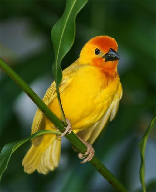 fairy-wren:  golden palm weaver (photo by skip)