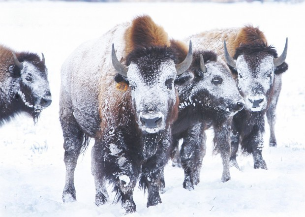 Bison in a Bitterroot Valley blizzard, winter. Perry Backus / Ravalli Republic.