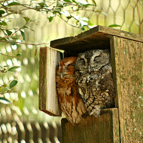 fat-birds:  yfphotography:  Two little eastern screech owls. Taken at the Tallahassee Museum. They were so cute. :3   waaaaah