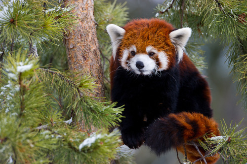 wild-earth:  Red Panda